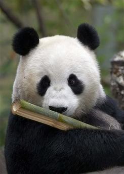 pregnant_panda.jpg