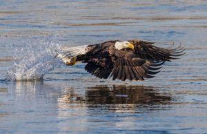 bald-eagle-fish